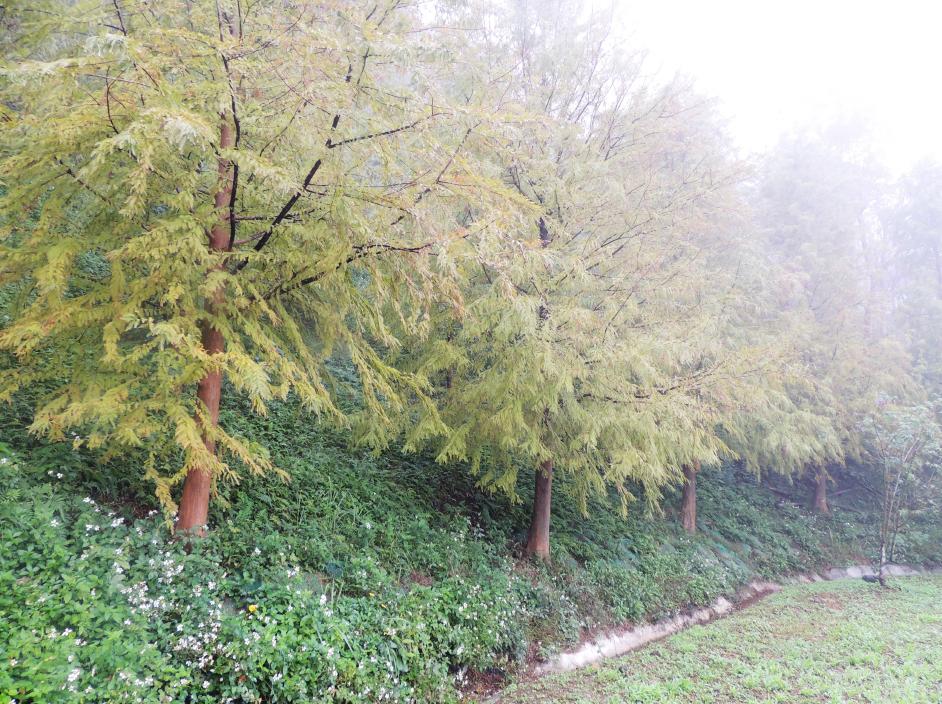秋季一抹黃色的落羽松