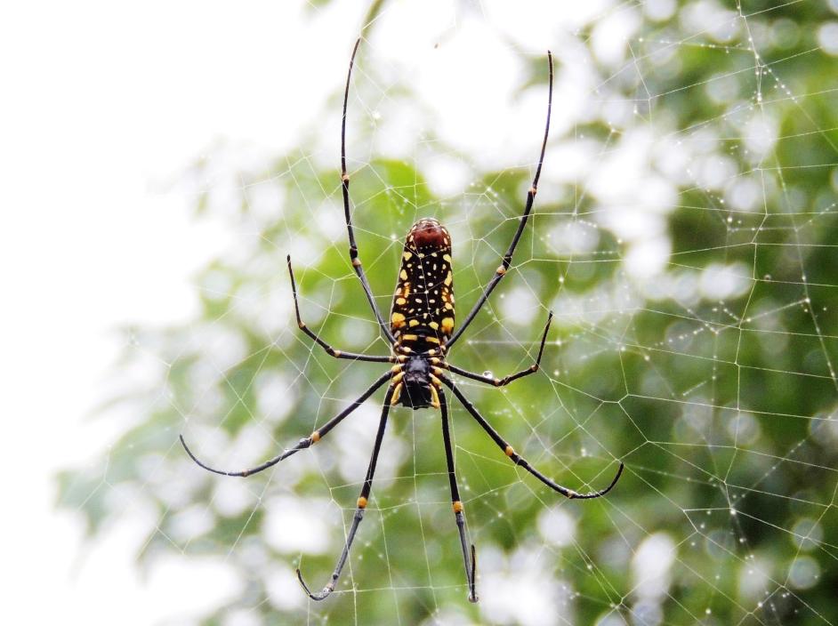 高掛樹林間的人面蜘蛛
