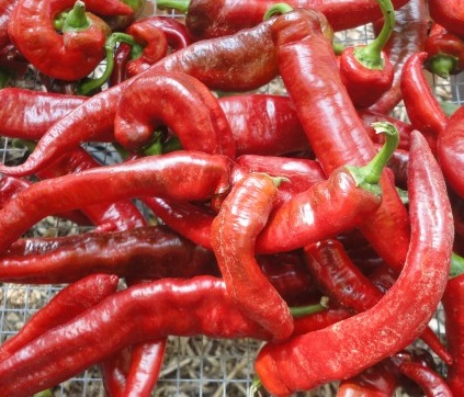 Jimmy Nardello's peppers grown by the Hudson Valley Seed Company