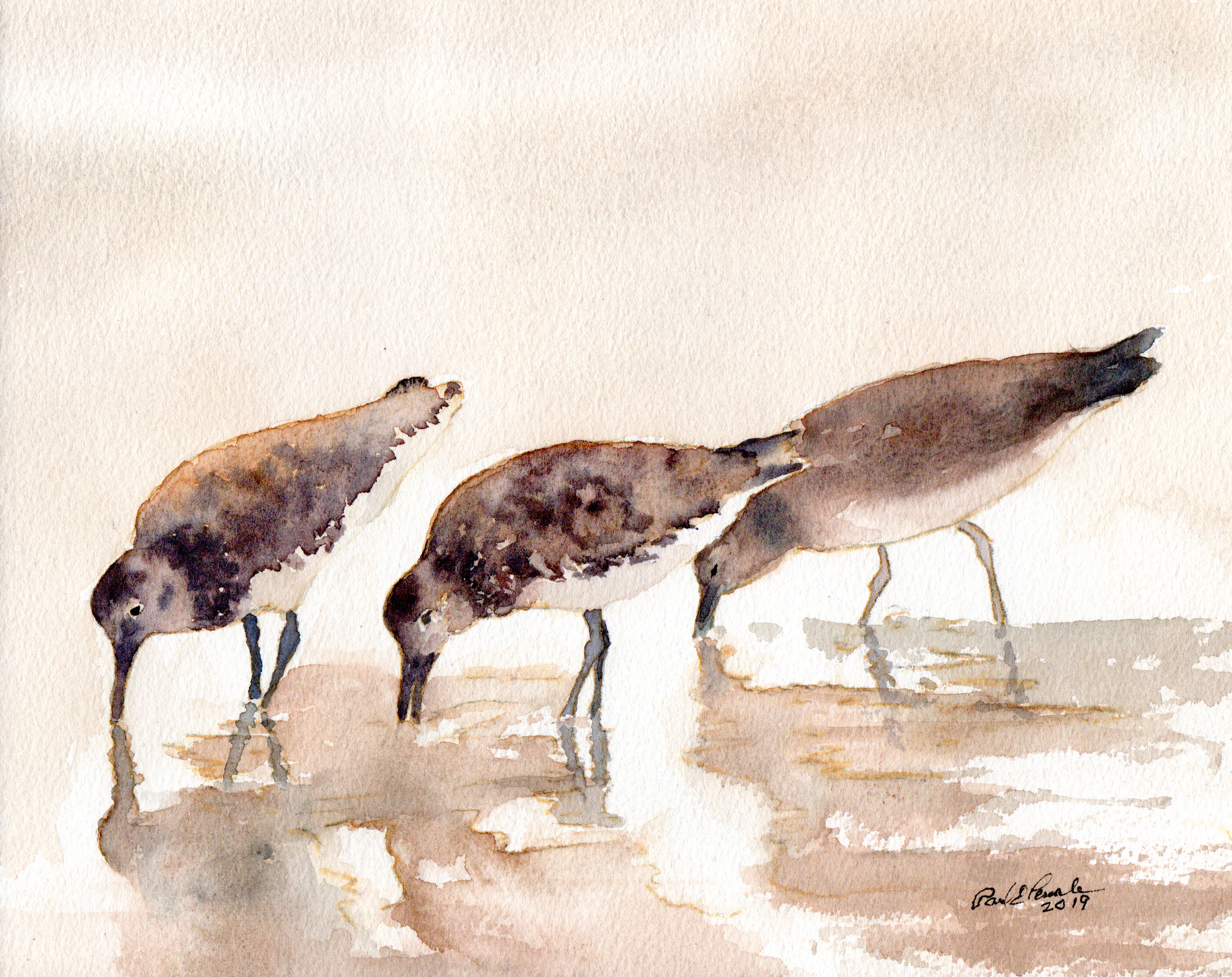 Bairds Sandpipers