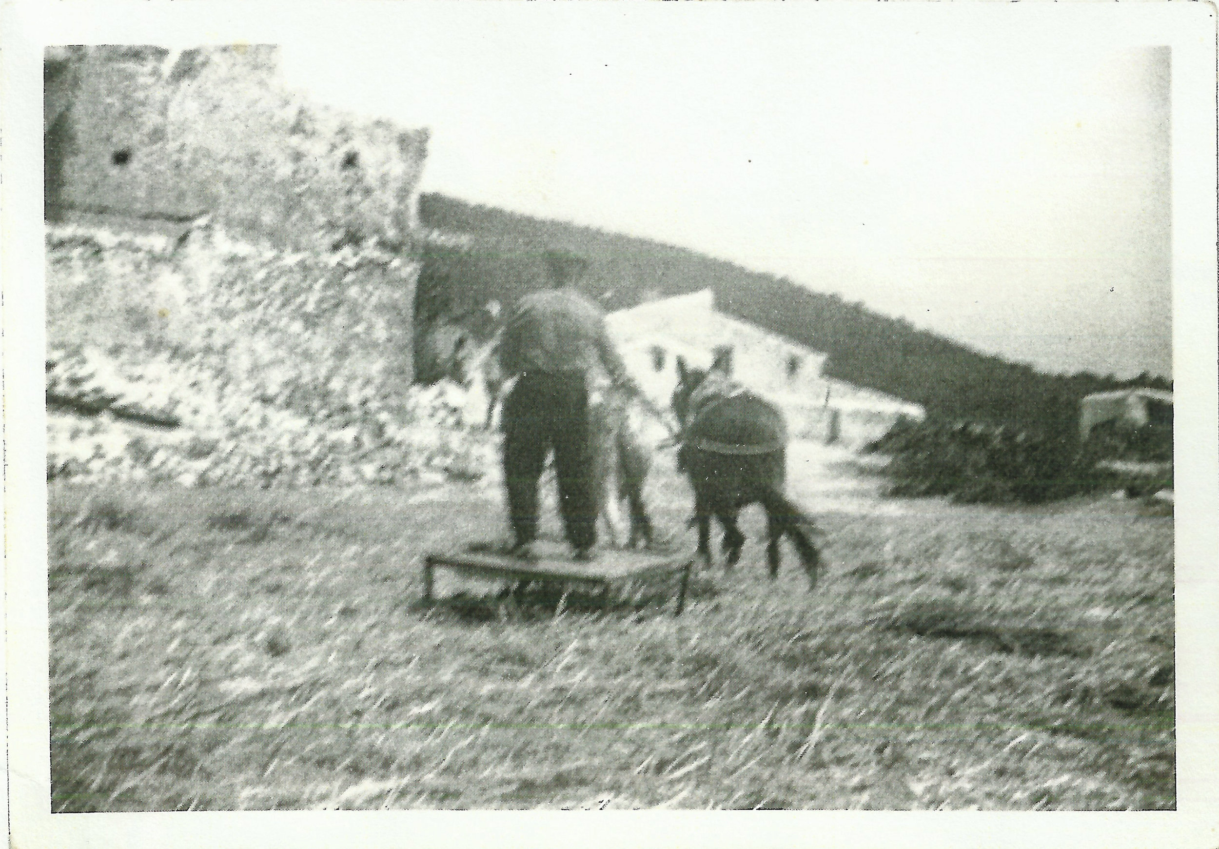 Gázquez family member using a trillilo to thresh wheat. Late 1960's