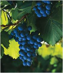 Malbec grapes doing their thing