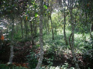"""Cinchona trees (a.k.a. """"fever trees"""") in the Congo"""