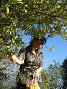 "The author picking ""yellow-ripe"" key limes in Baja California Sur, Mexico"