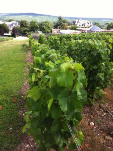 Chardonnay on the vine at Champagne Mercier in Epernay, France