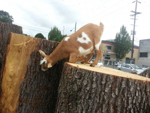 urban goat sighting