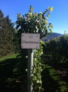 Chardonnay Vines at Tinhorn Creek, photo by Christine Campbell