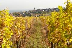 Vineyard in Colmar in Autumn