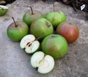bittersweet cider apples, photo by Mark Shirley
