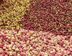 Apples destined for brandy, photo by badly drawn dad.