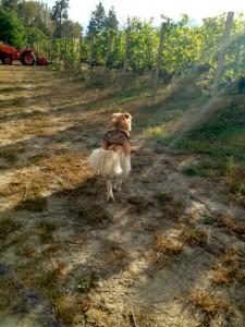 serendipity vineyard dog