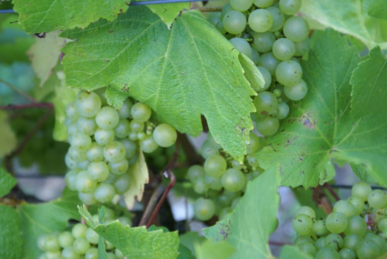 Chardonnay growing at Hattingley Vallley vineyard, courtesy Hattingley Valley Wine