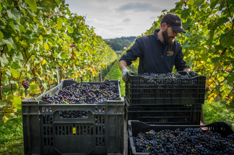 harvest at a Hattingley Valley vineyard, photo by The Electric Eye Photography