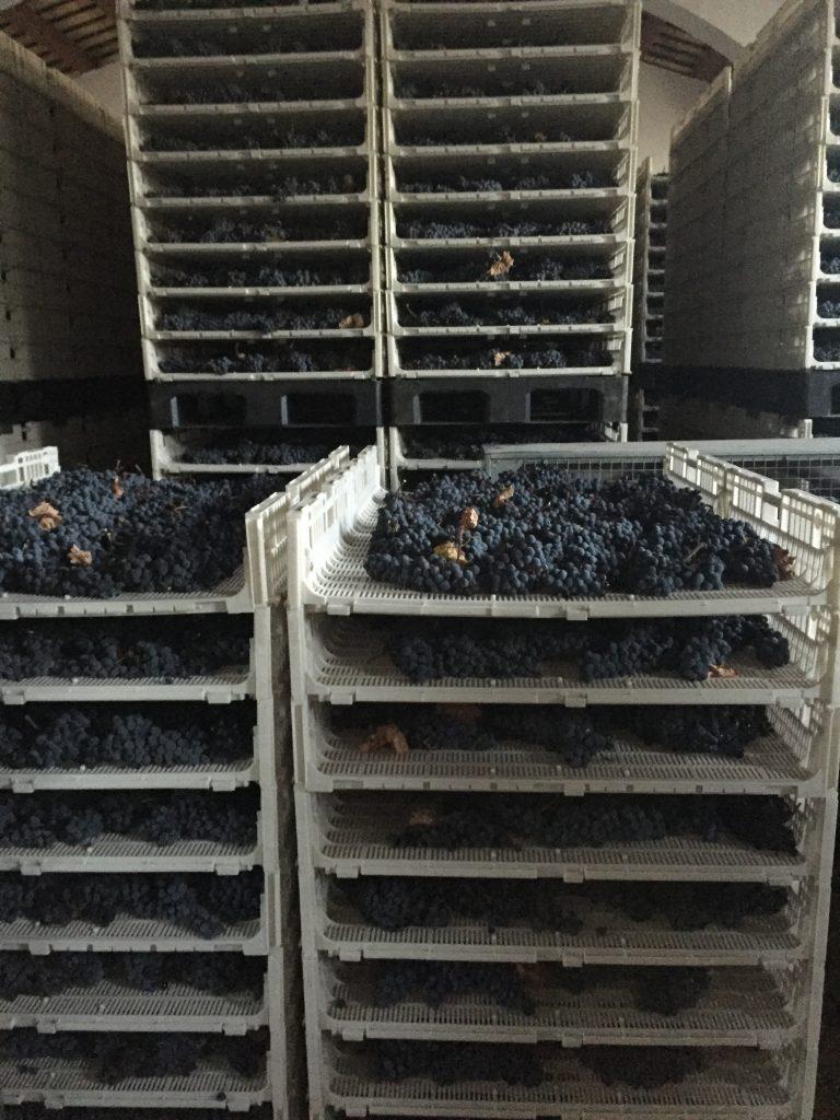 Nero d'avola drying on racks at Feudi Arancio winery.