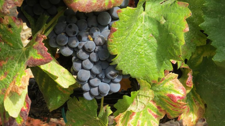Nero d'avola close to harvest-ready ripeness on the vine
