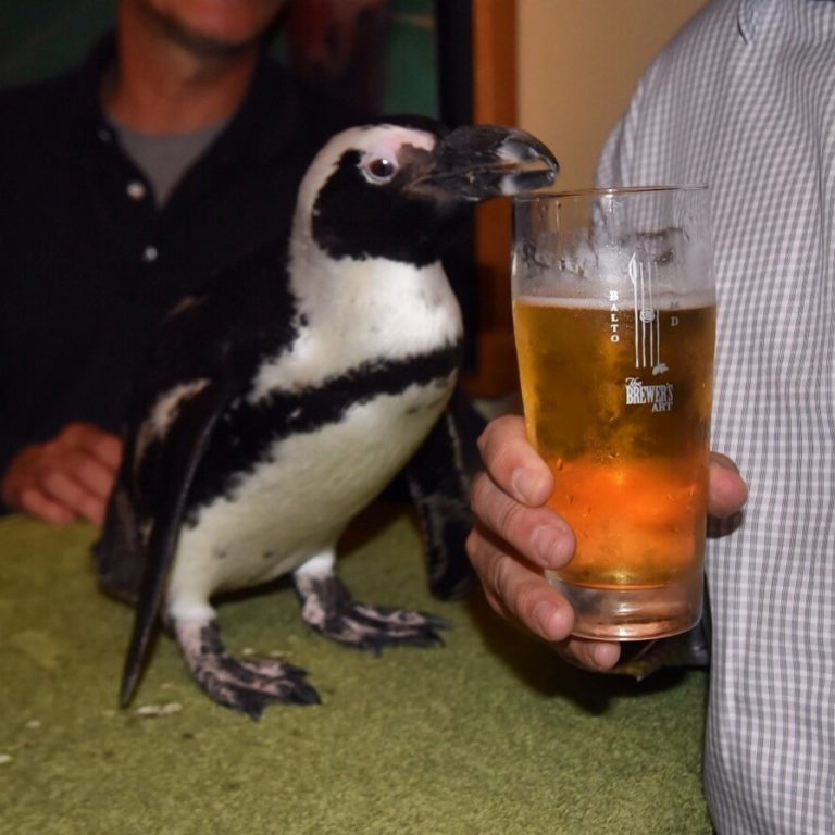 Lilly the Penguin gets up close with Penguin Pils at The Brewer's Art in Baltimore during the tapping of the beer. She did not actually drink it! Photo supplied by The Brewer's Art.