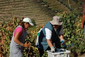 hand harvesting in the Douro valley, photo by Kelly Magyarics