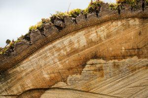 cross section of Garryana oak, courtesy Westland