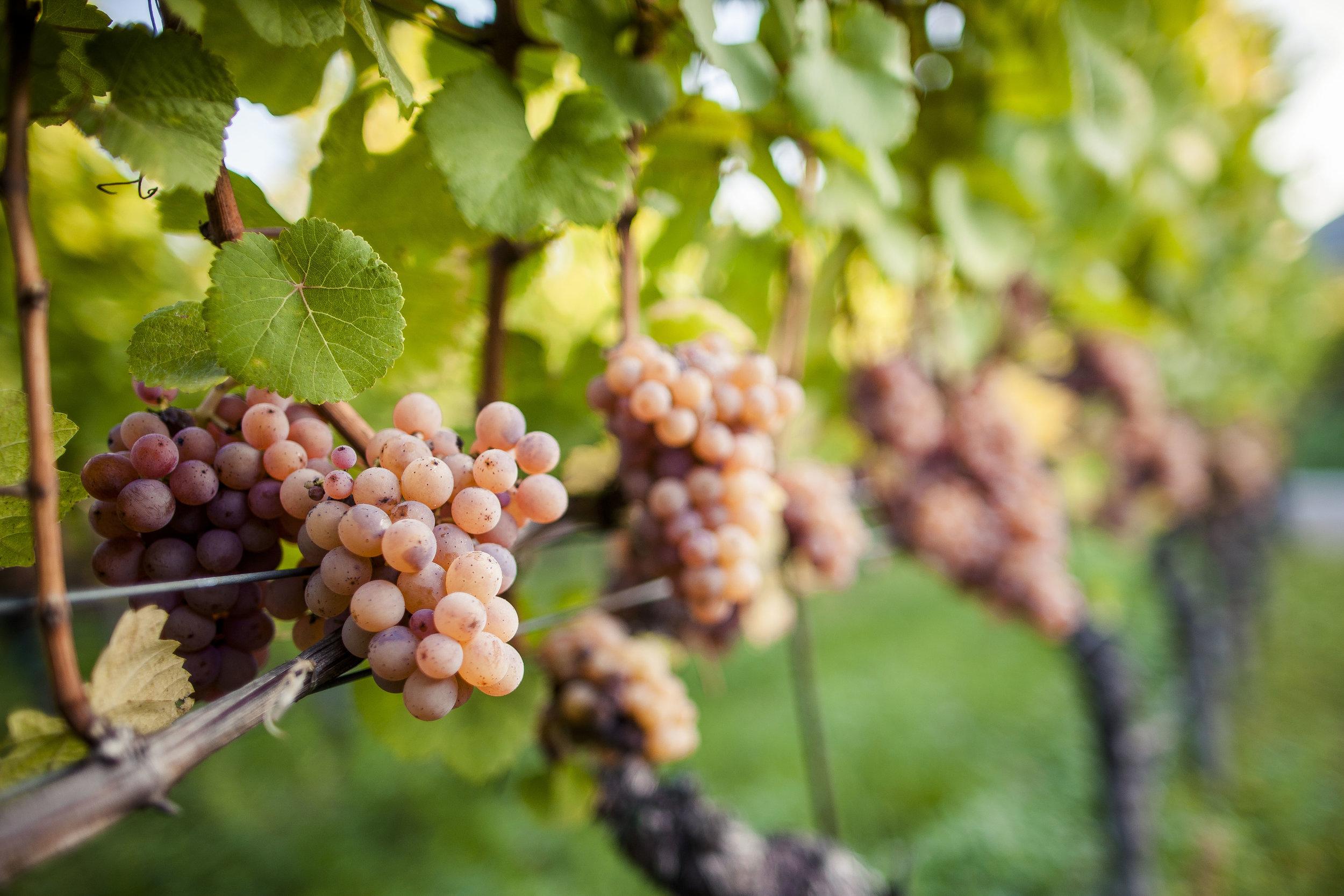 Gewürztraminer grapes growing in Suditrol, Alto Adige, photo by IDM - Florian Andergassen