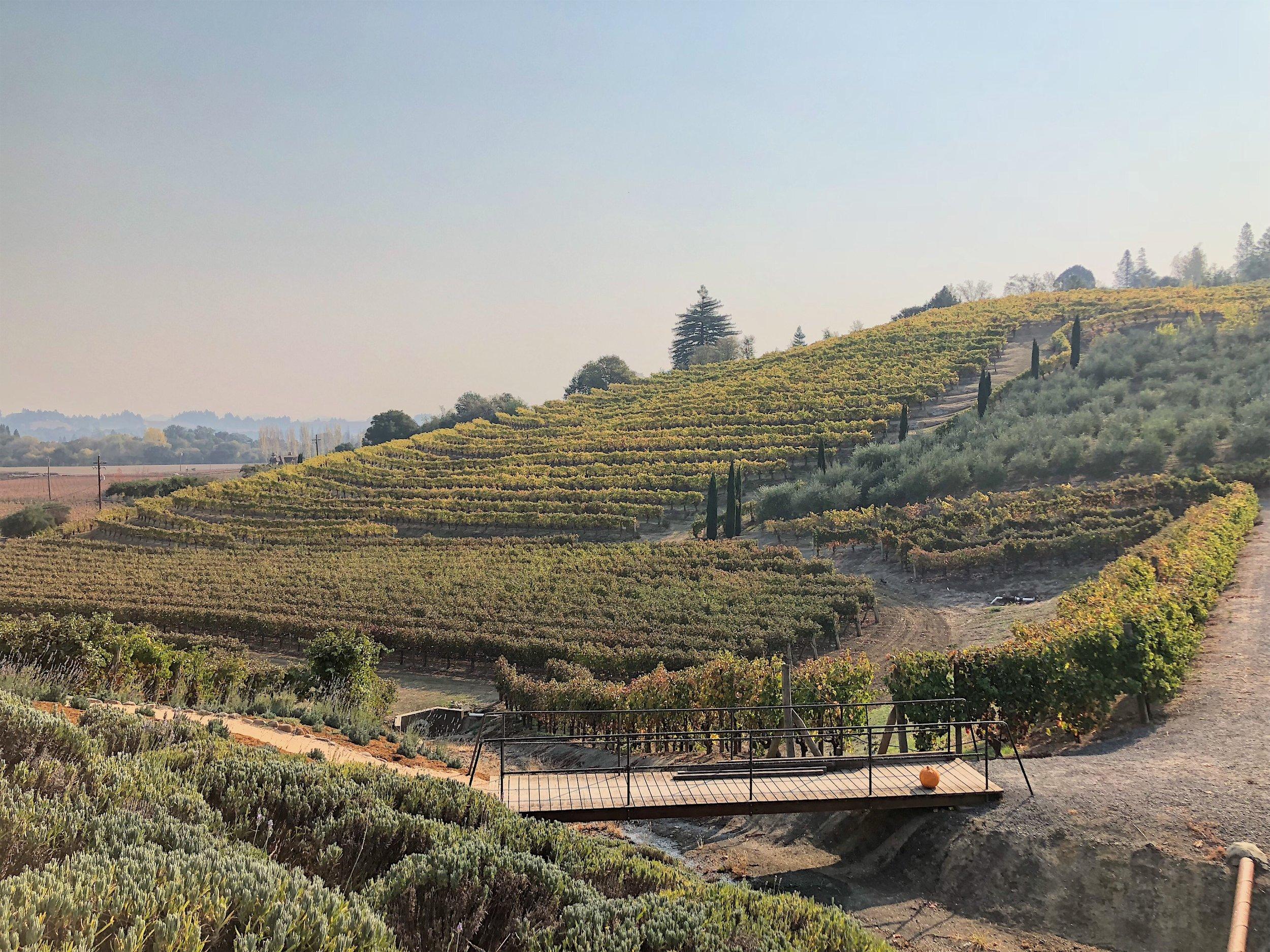 vineyards at A. Rafanelli