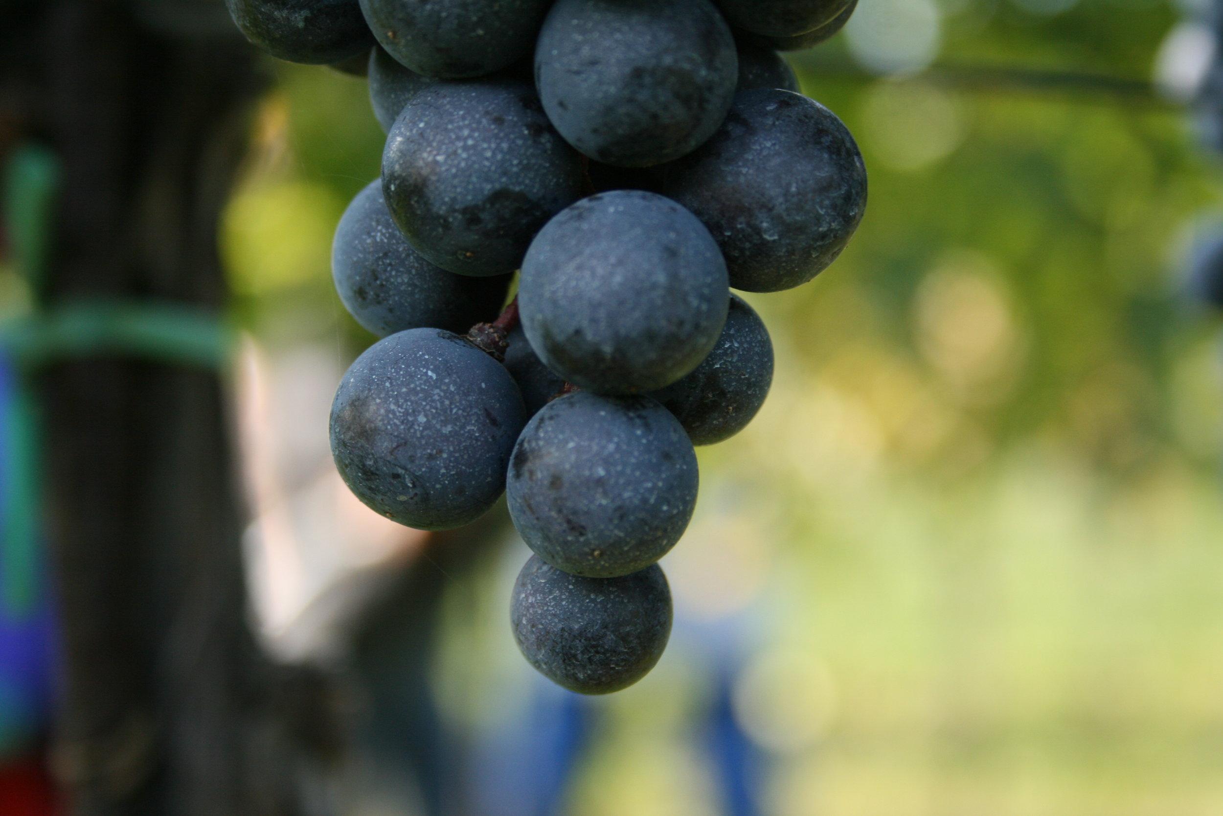 Zweigelt grapes at Netzl