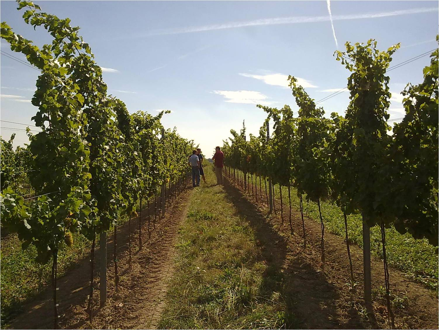 vineyard at Stefan Pratsch