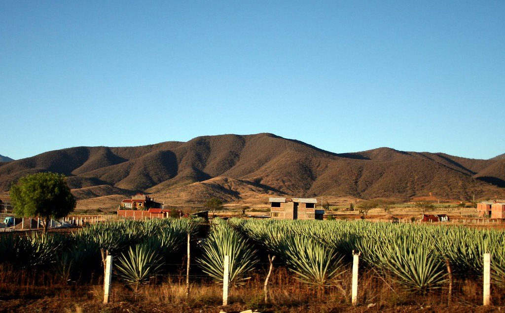 agave field, photo by Angélica Portales via flickr creative commons