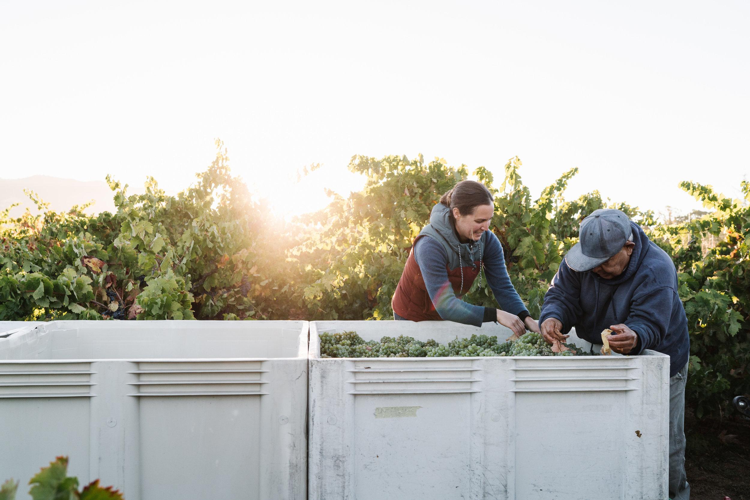 sorting through the harvest at Martha Stoumen, photo by Andrew Thomas Lee