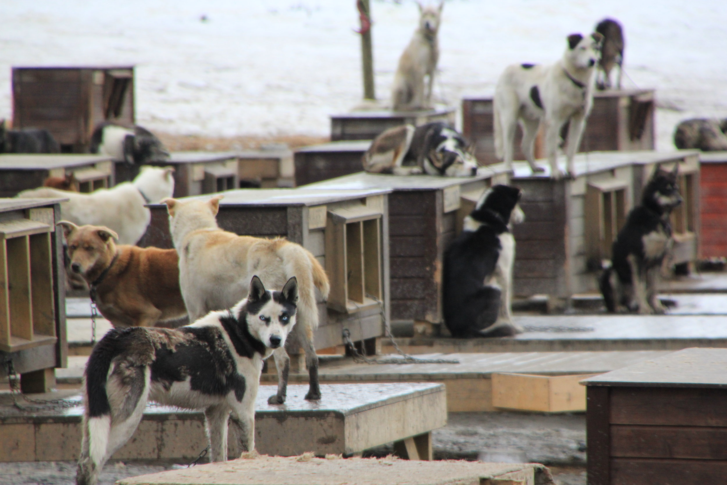 Husky sled dogs in Norway
