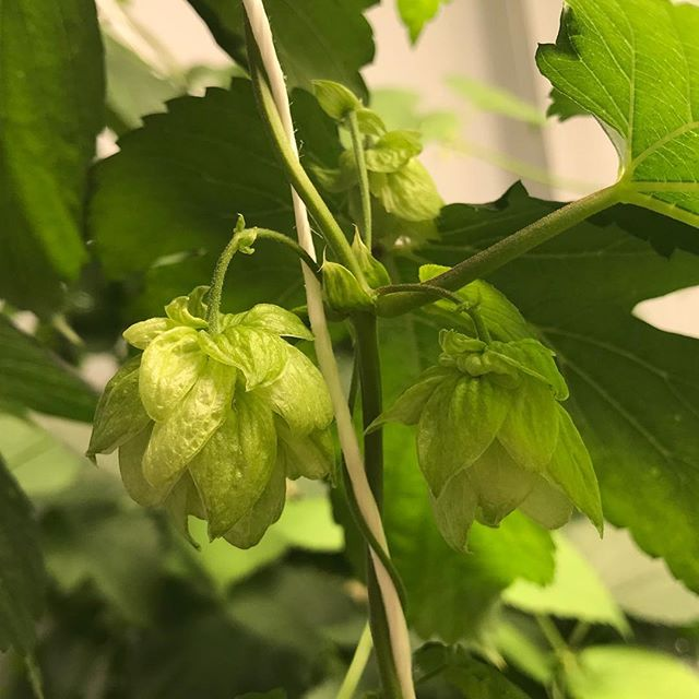 We know we went on a bit of a social media hiatus, but we're back! We've been busy talking to customers and working with folks on project proposals. Who's ready to grow some beer?! . . . . . . #yourhopshouse #hopshouse #hydroponics #hydrohops #growbeer #takecraftback #craftbeer #hops #hopsfarm #farm365 #growsomethinggreen #modernfarmer #farmers #farming #binetobrewery #brewery #brewbeer #cincygram #beerlovers #beerlover #beerstagram #drinklocal #cincybeer #untappd #urbanfarming #agtech #entrepreneur #startup