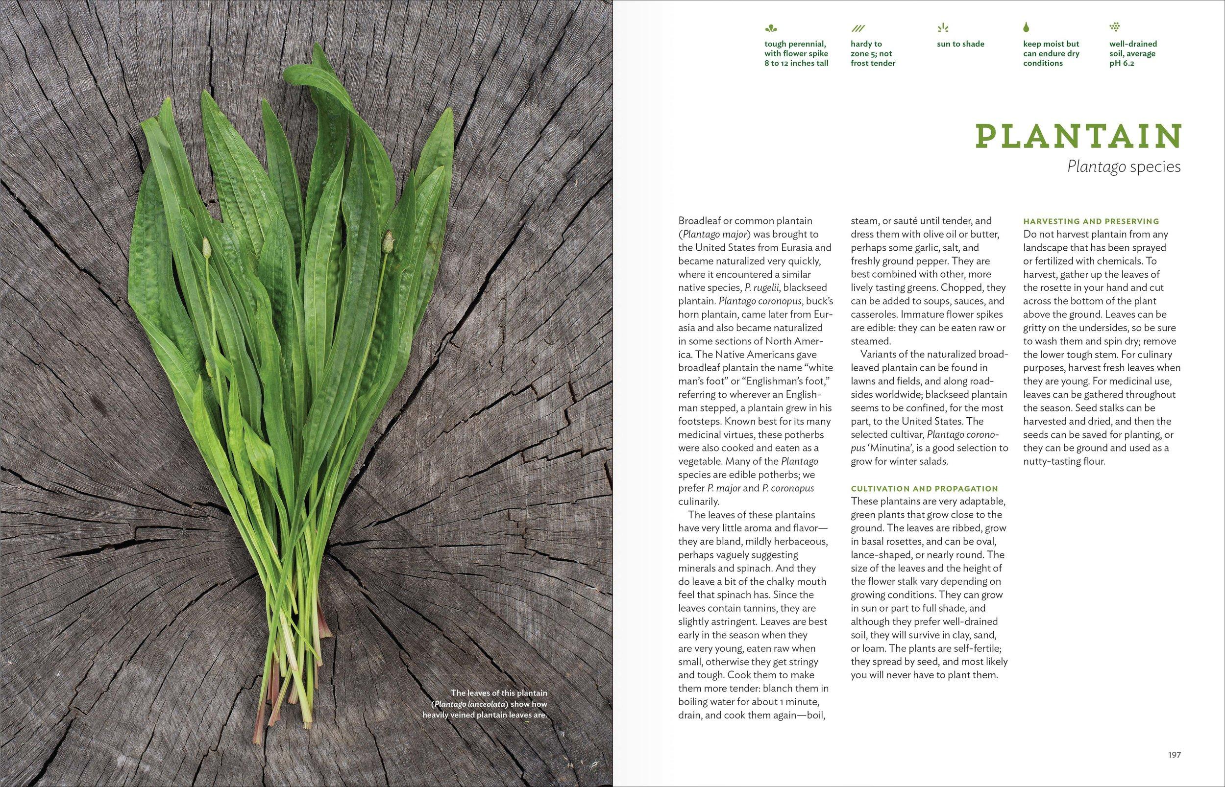Belsinger_spreads_Plantain.jpg