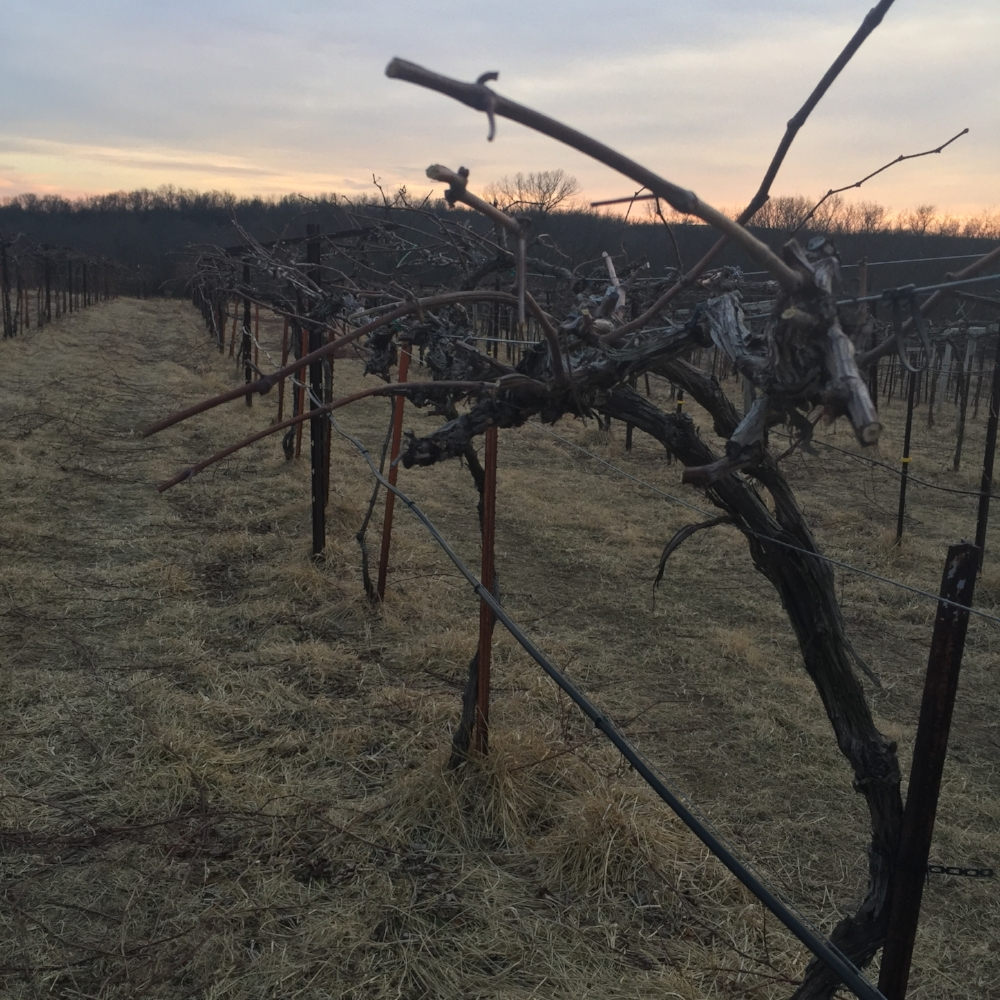 Recently pruned Norton grape vines at Jowler Creek Vineyard & Winery.