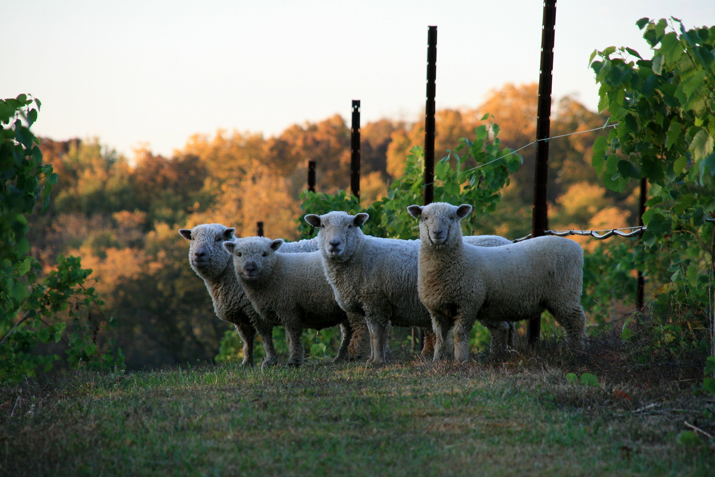 jowler-creek-winery-sustainable-wine-sheep.JPG