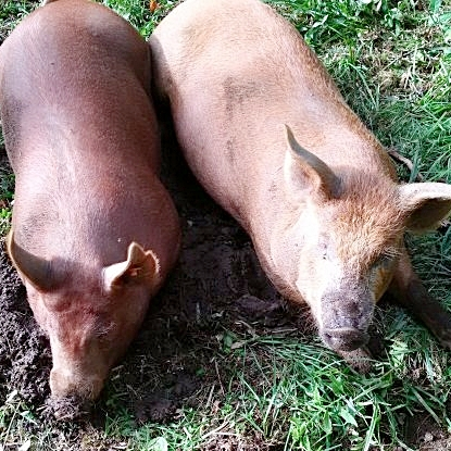 tamworth pigs.jpg