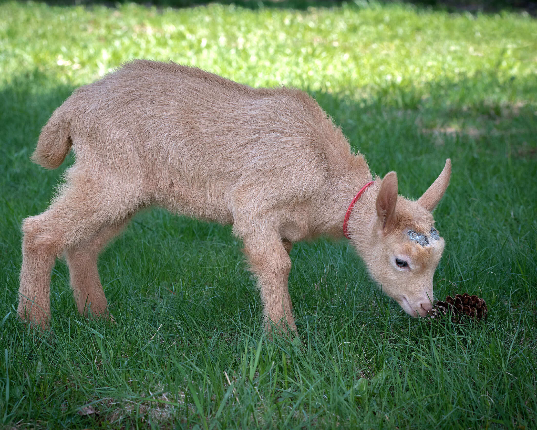 Goats — Turning Page Farm - Monson, ME