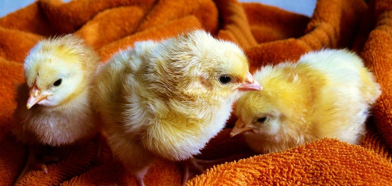 chicks-573377_1280.jpg
