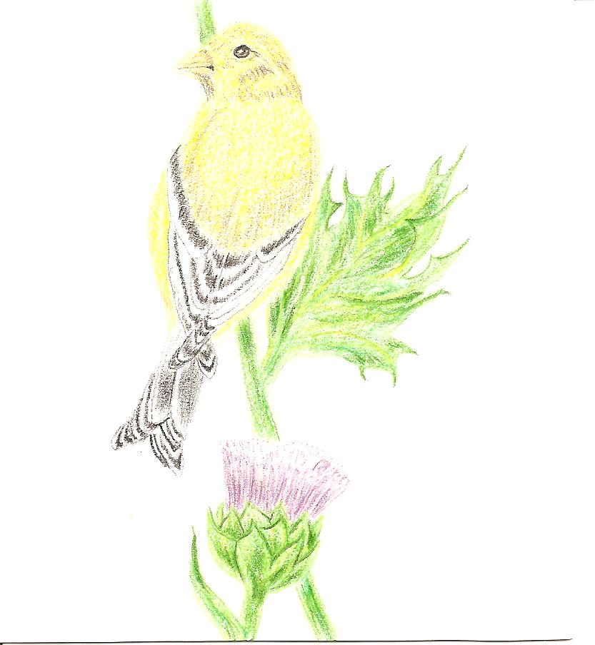 gold finch on a thistle by Karl Roberts 001.jpg