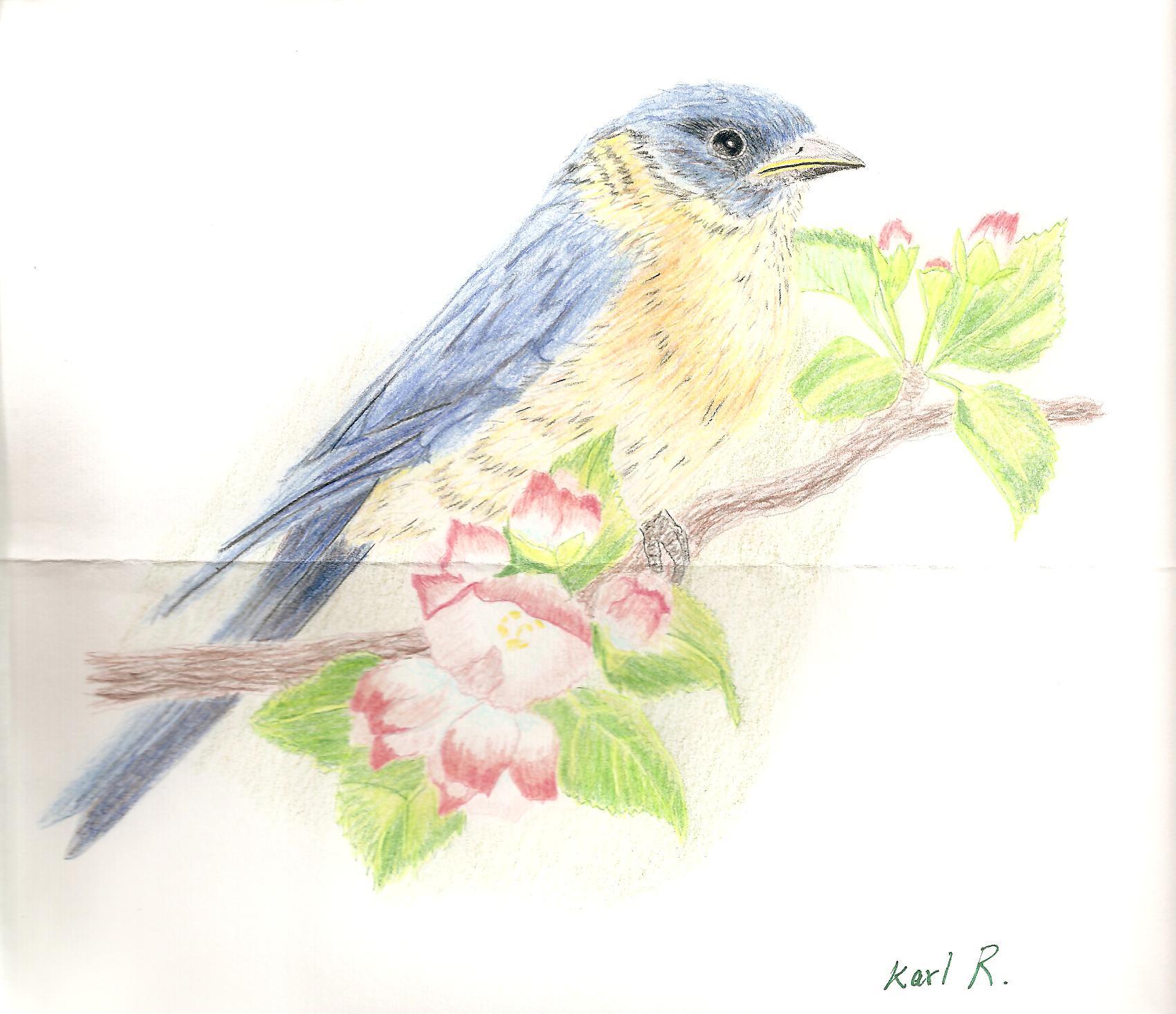 Karl R's bluebird 001.jpg