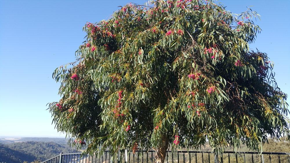 Eucalyptus leucoxylon 'Rosea'