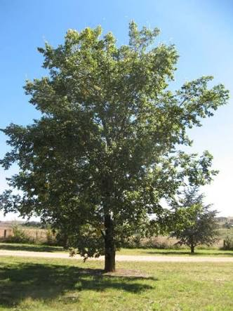 Ulmus minor variegata