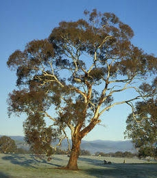 Eucalyptus melliodora