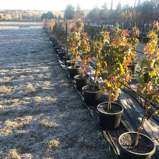 Liquidamber Canberra Gem's glistening in the sunlight on a frosty -2 degree morning at our growing site at O'Connell today.  Hello Winter ❄️! This variety of Liquidamber's are a very hardy and frost tolerant tree, with a deep root system.  In the autumn months they produce an array of rich colours in apricot and red tones.  #stratfordtreesnursery #liquidambarstyraciflua #deciduous #gardendesign #plantingseason #frost #winter #landscapedesign #autumncolours