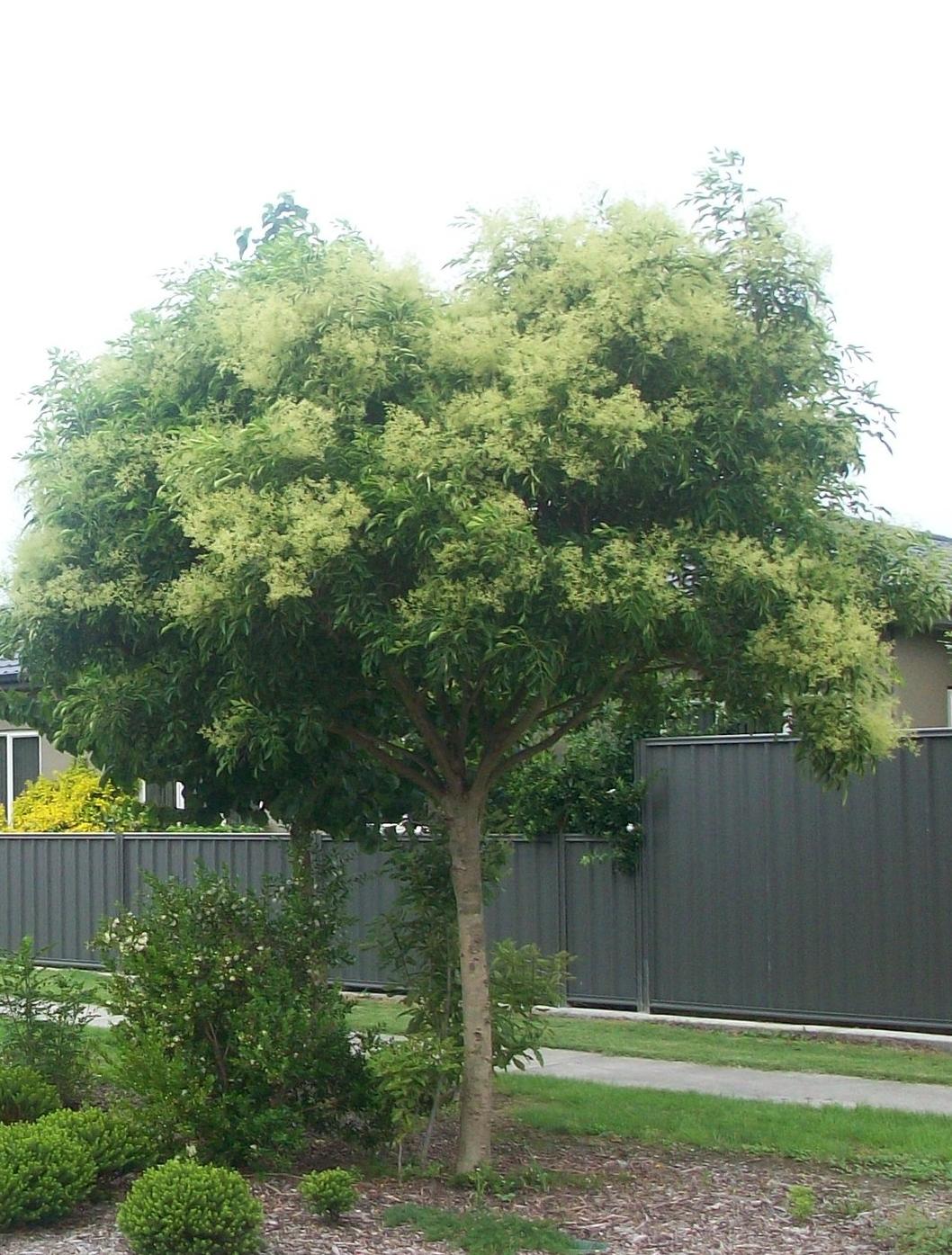 Fraxinus griffithii 'Evergreen Ash'