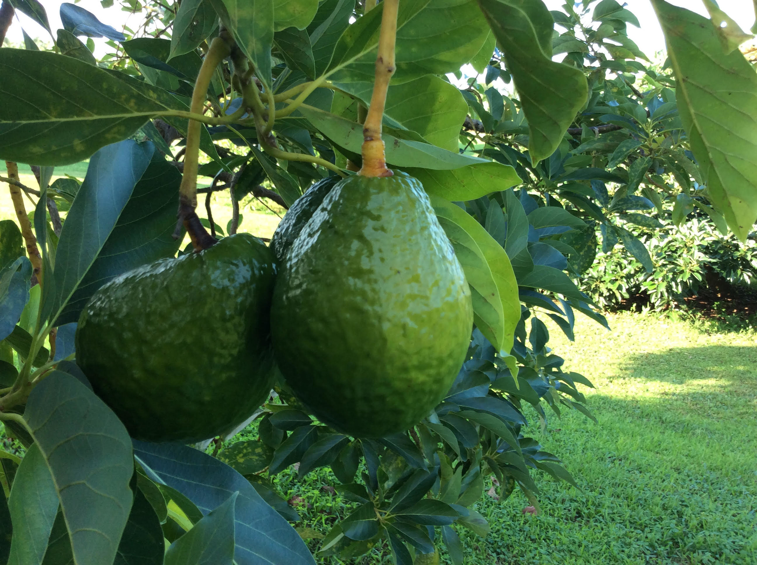 Grow Avocado - https://www.youtube.com/watch?v=-_JDyqskGxE