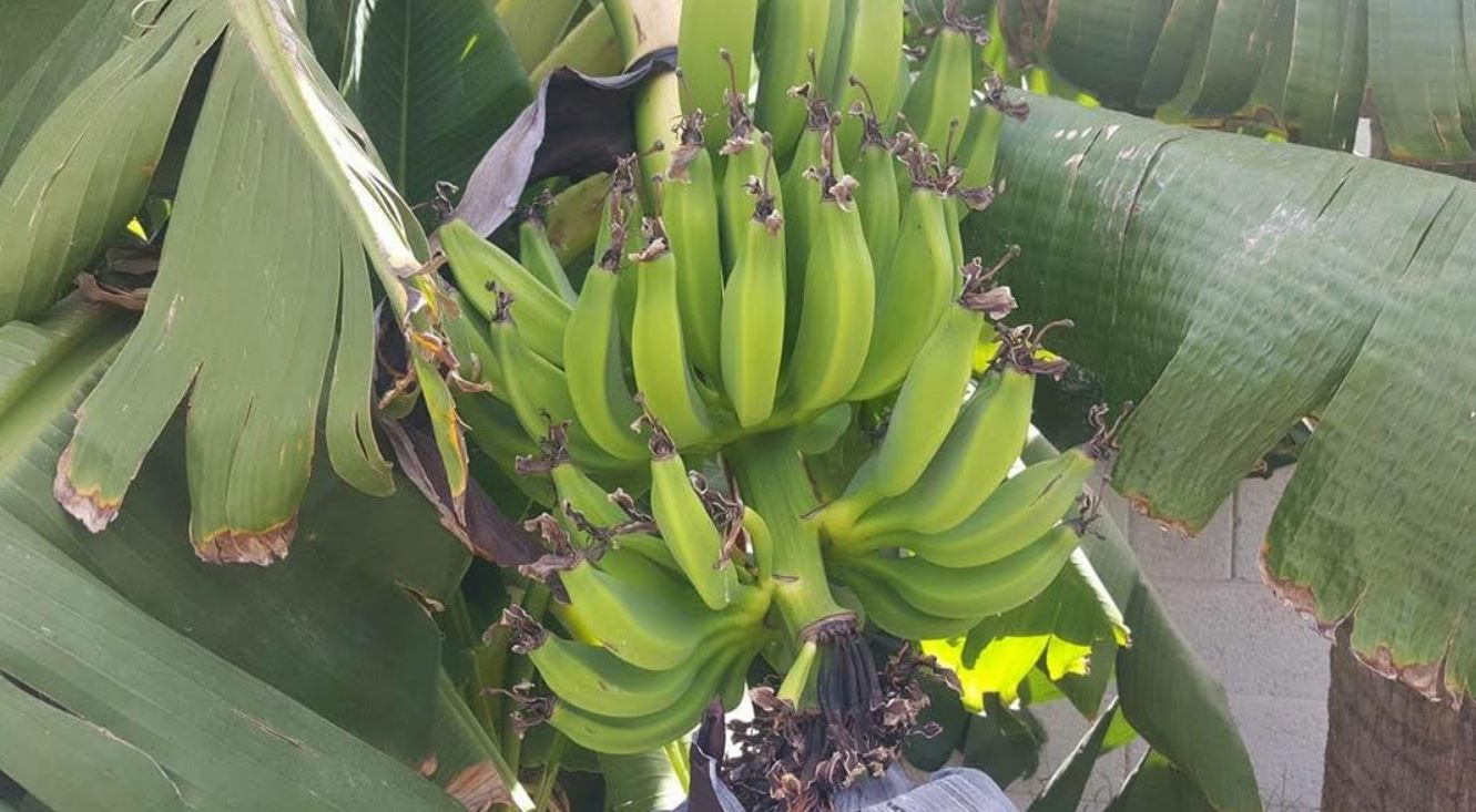 banana 2.JPG