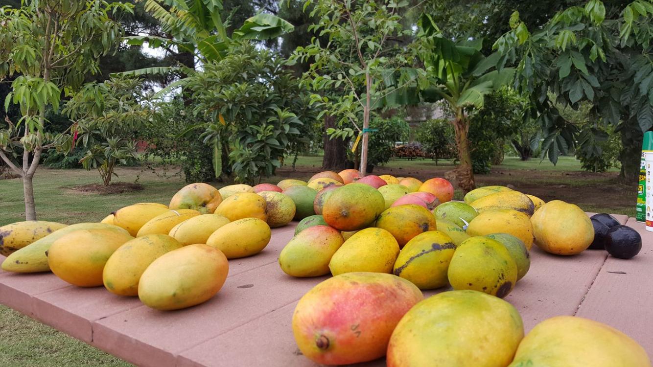 Mango Tasting.png