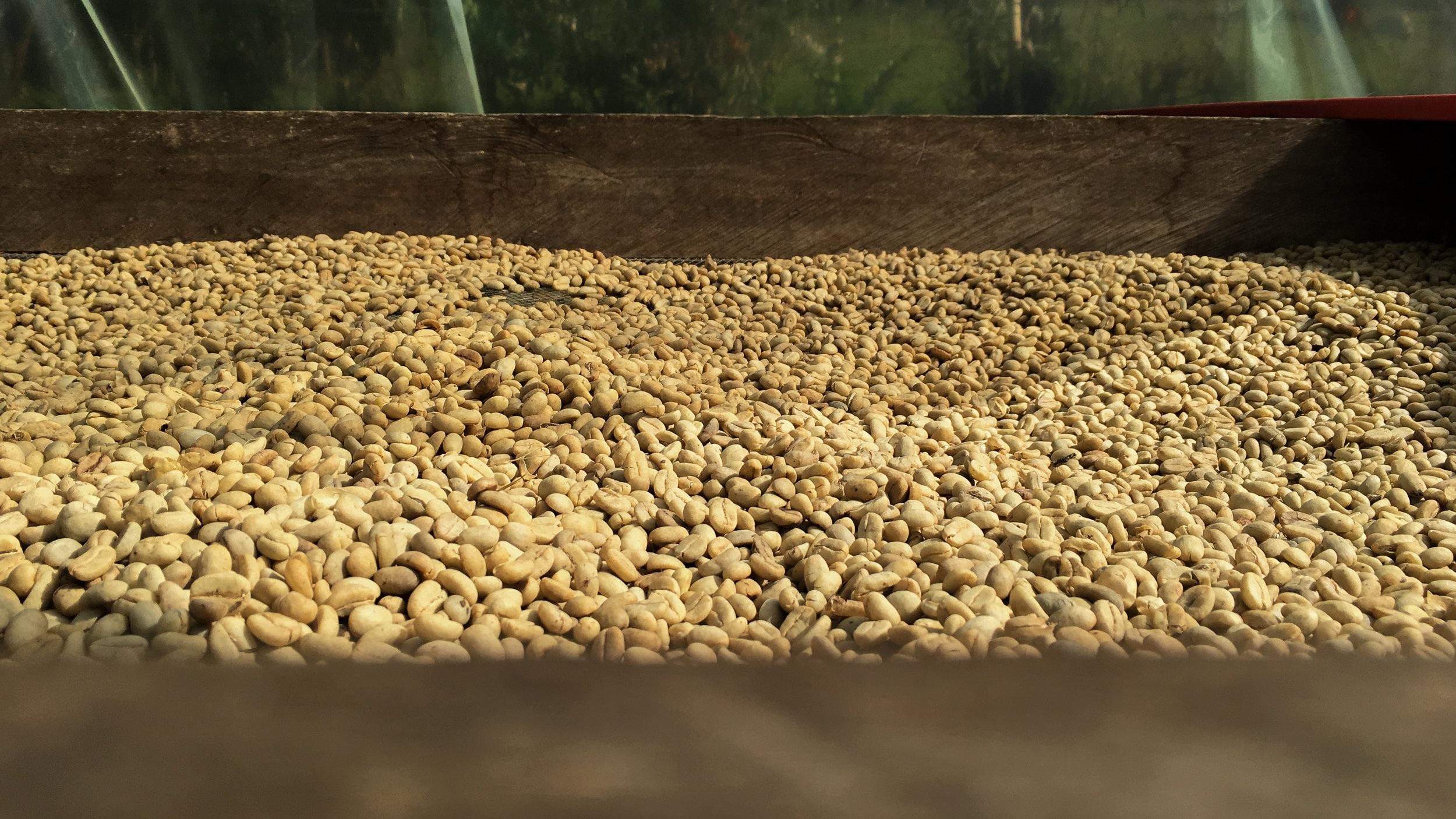 Coffee beans drying.  Photo credit: Rubez Chong
