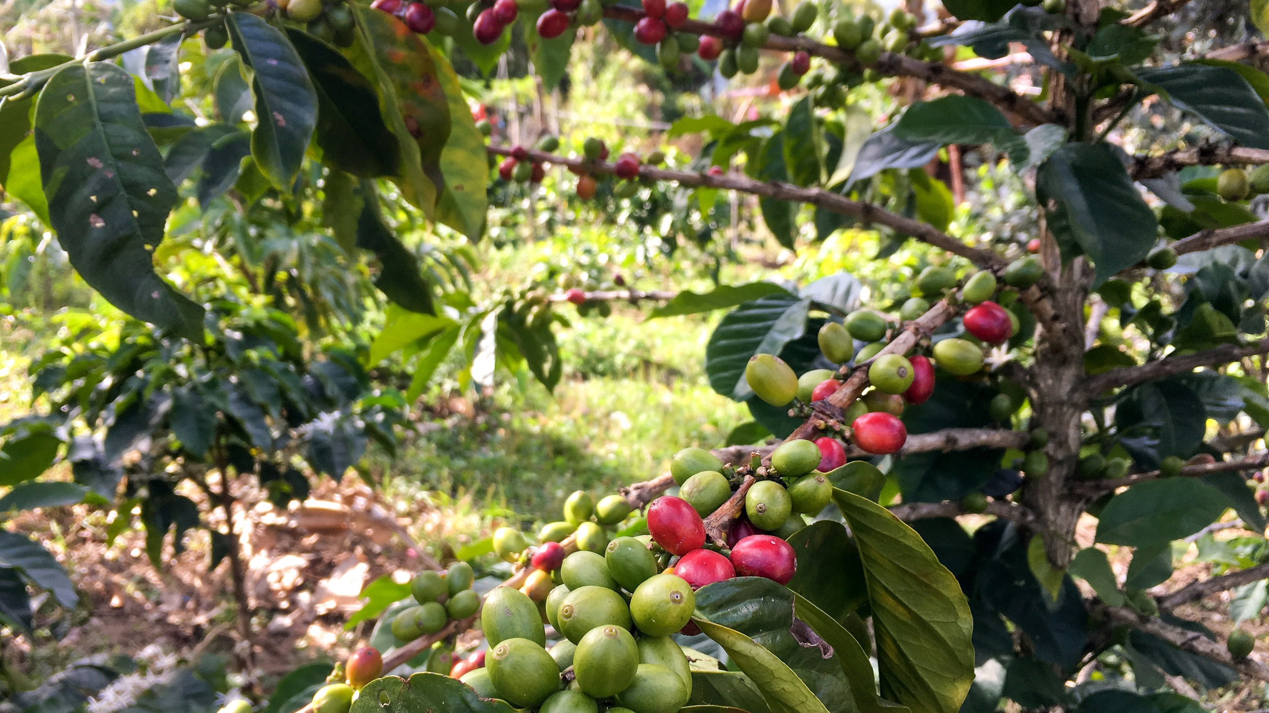 Coffee plants.  Photo credit: Rubez Chong