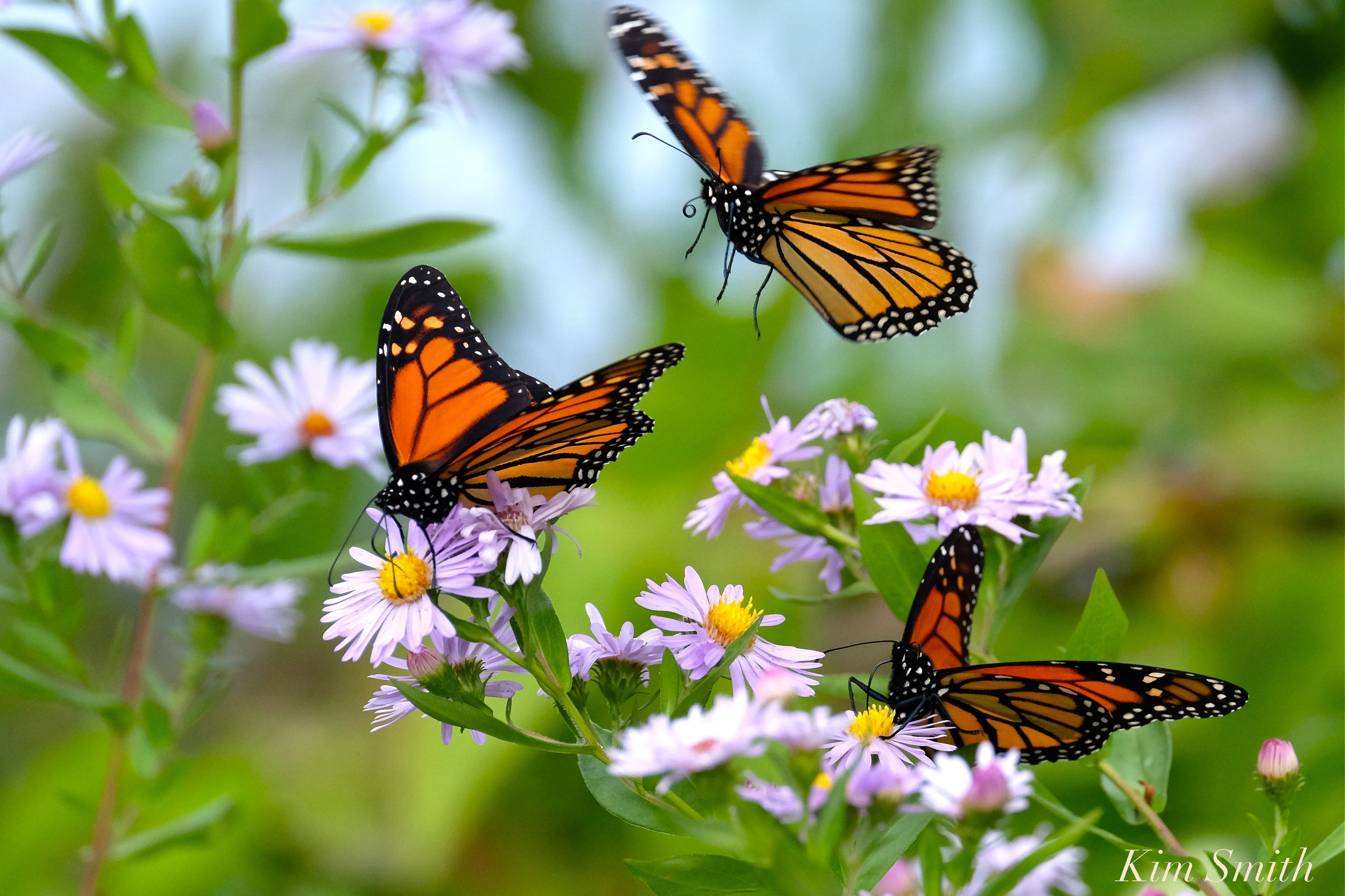 monarchs-smooth-aster-copyright-kim-smith.jpg