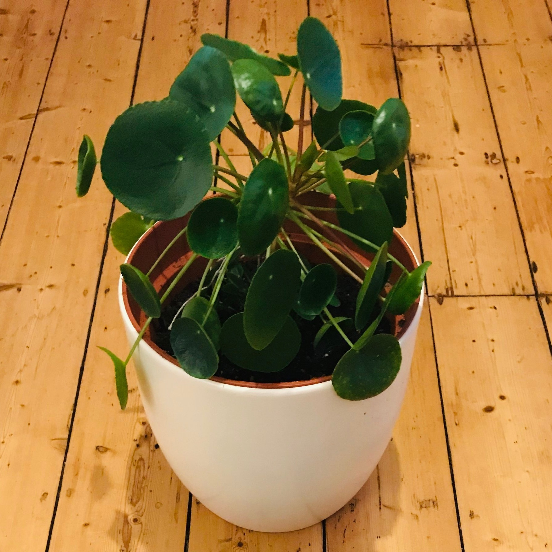 Chinese Money Plant -